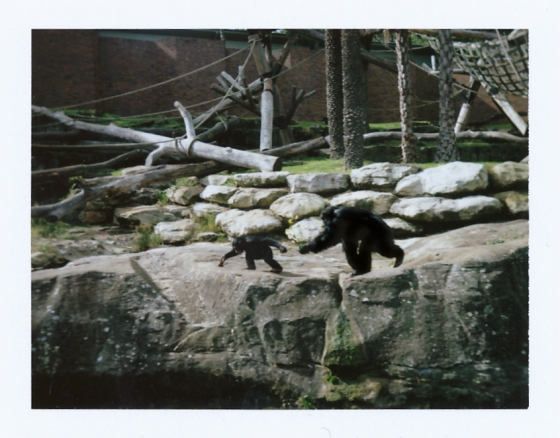 Polaroid of the chimpanzee enclosure at the Taronga Zoo: Sydney, Australia