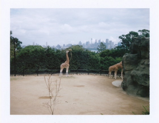 Polaroid of the giraffe enclosure at the Taronga Zoo: Sydney, Australia