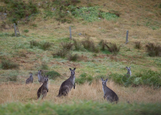 Kangaroos copy