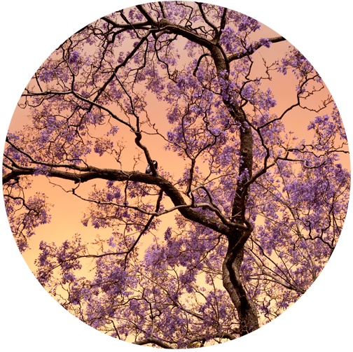Jacaranda tree in bloom at Hyde Park: Sydney, Australia