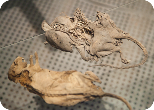 The remians of preserved rats at the Hyde Park Barracks: Sydney, Australia
