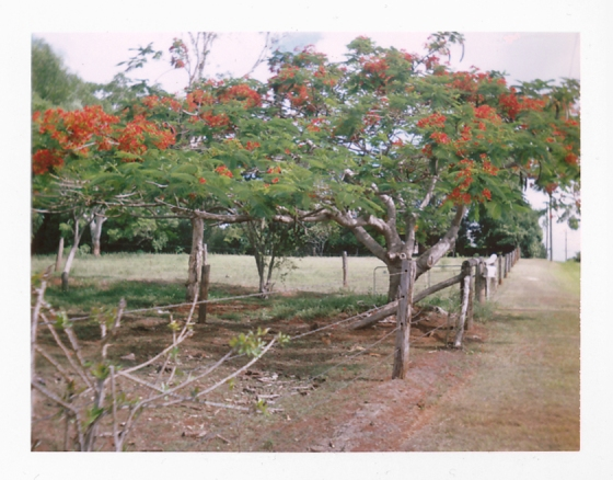 Polaroid of Poinciana trees in bloom: Queensland, Australia