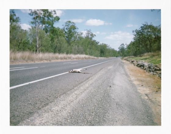 Polaroid of wallaby roadkill: Queensland, Australia