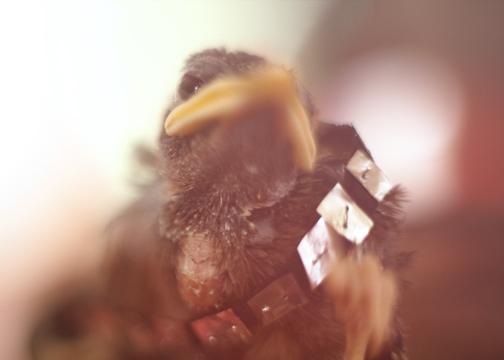 Real life Star Wars Angry Bird: Chebacca