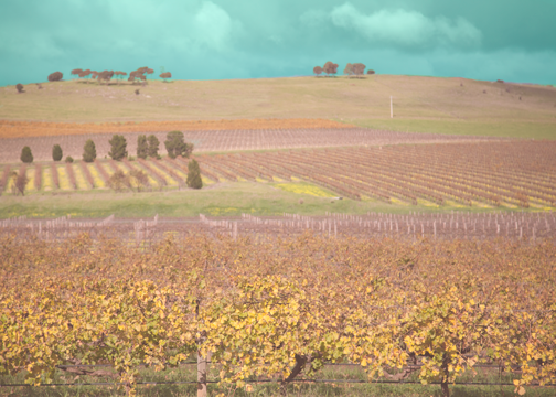 Vineyards in the Barossa Valley: South Australia