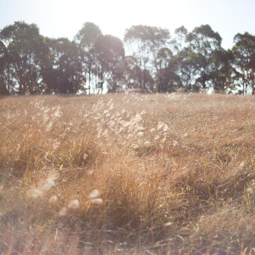 Dry grassy field at the Australian Botanical Garden