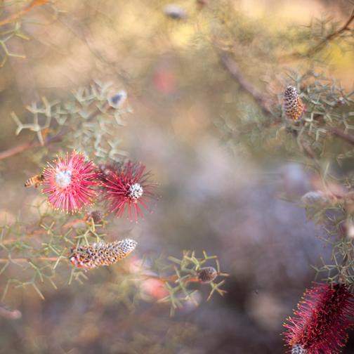 Grevillea paradoxa flower and bee: Australian Botanical Garden