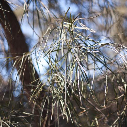 Grevillea striata: Australian Botanical Garden