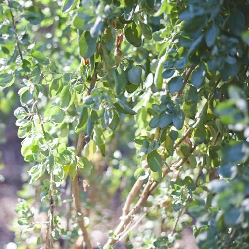Old man satlbush green leave: Australian Botanical Garden