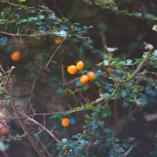 Orange thorn bush: Australian Botanical Garden