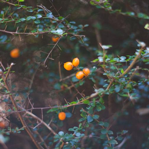 Orange thorn bush: Australian Botanical Garden