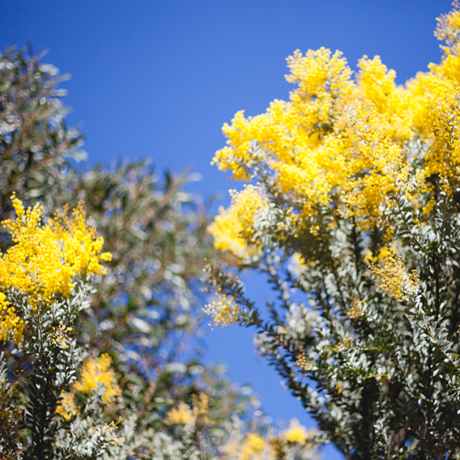 Queensland silver wattle yellow flower: Australian Botanical Garden