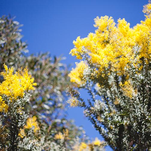 Queensland silver wattle yellow flower: Australian Botanical Garden