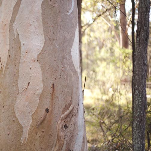 Forest red gum peeling bark: Australian Botanical Garden