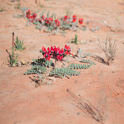 Sturts desert pea, red flowers with a black center: Australian Botanical Garden