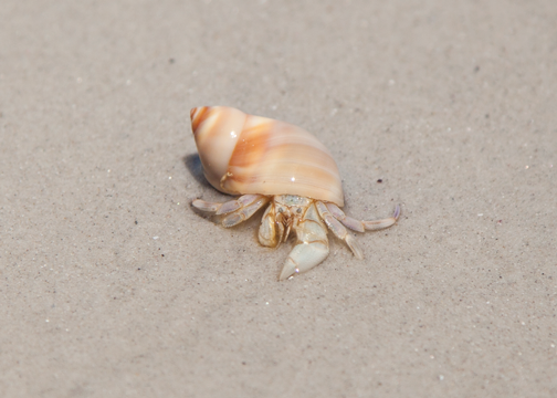 Hermit crab on Callala Beach: Jervis Bay, Australia