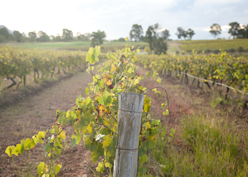 Vineyard landscape in the Hunter Vallery: Pokolbin, Australia