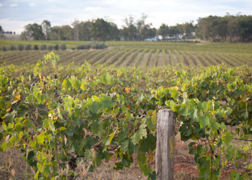 Vineyard landscape in the Hunter Valley: Pokolbin, Australia