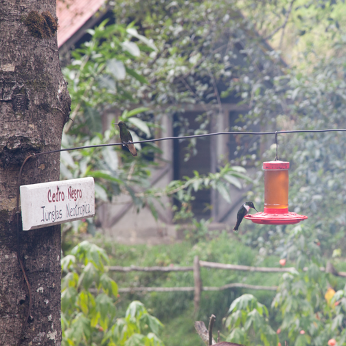 Hummingbirds at the Acaime Natural Reserve: Valle de Cocora, Colombia