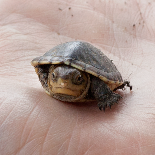 A tiny turtle found on the grounds of Finca La Cristalina: Santagueda, Colombia