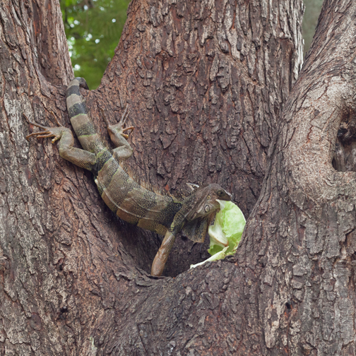 Iguana in Parque Cabal: Buga, Colombia