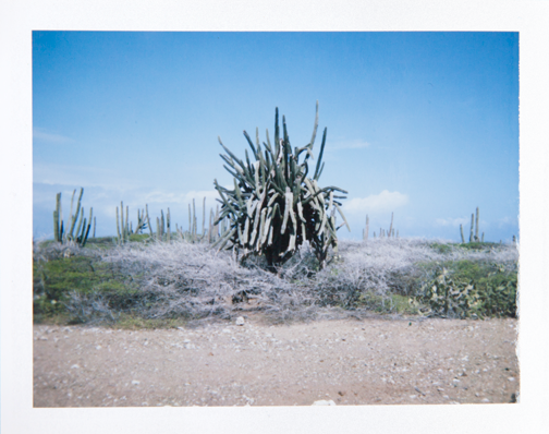 Polaroid of a tangled cactus in Arikok National Park: Aruba