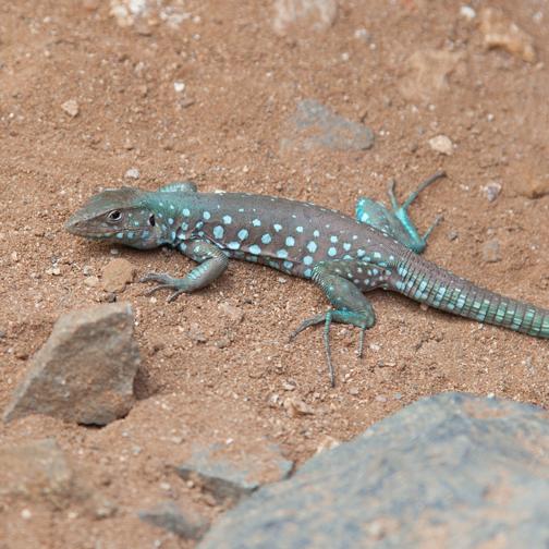 Turquoise-spotted Aruban Whiptail lizard: Aruba