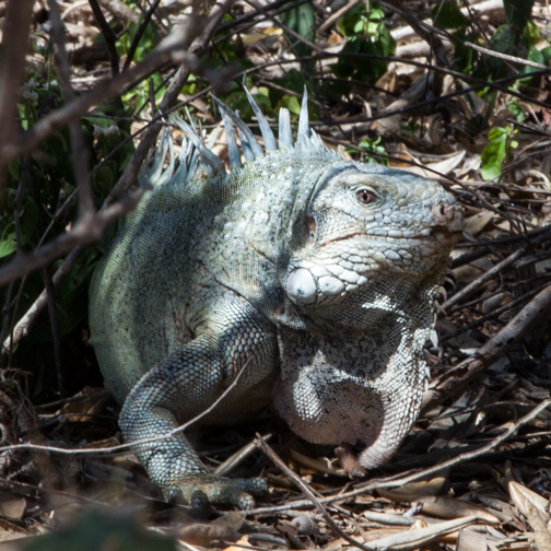Blue iguana at Christoffel National Park: Curacao