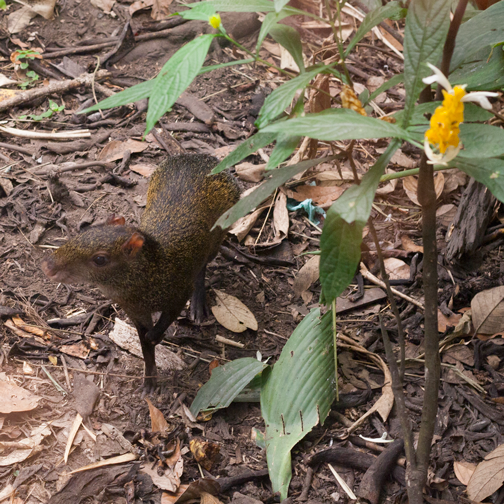 Small vertebrate at the Quindio Botanic Garden: Calarca, Colombia