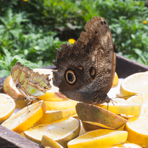 Butterfly garden at the Quindio Botanic Garden: Calarca, Colombia