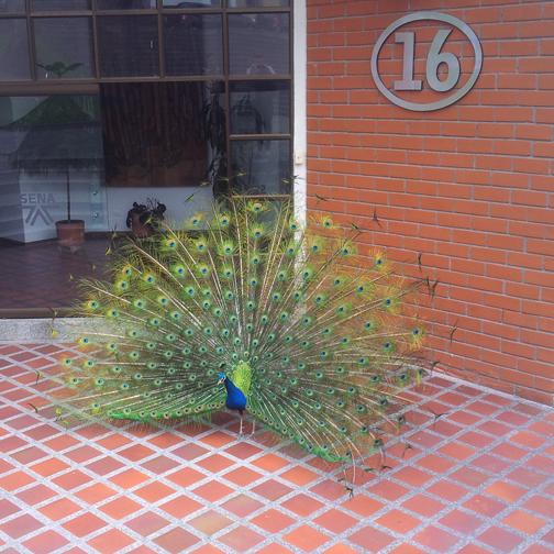 Sena campus peacock: Manizales, Colombia