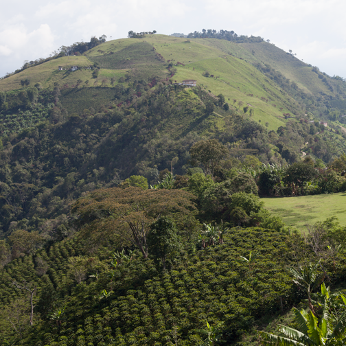 View of the coffee growing landscape from Finca La Irlanda in Salamina, Colombia