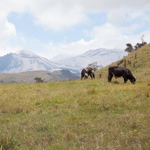 Parque-los-Nevados-Cows