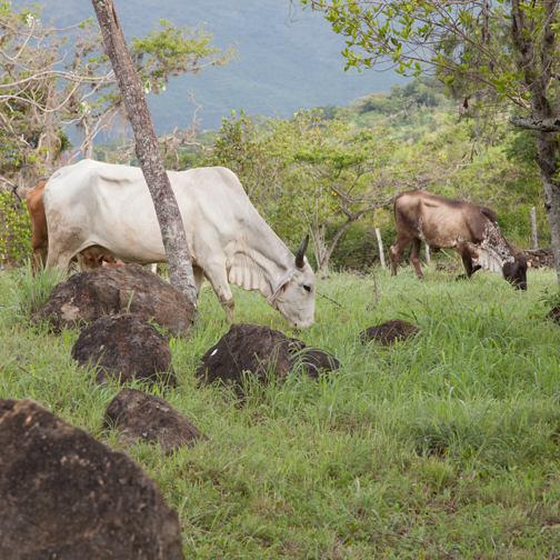 Grazing cattle on the walk from Barichara to Guane, Colombia